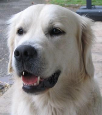 Histoires des golden retrievers Just Like a Shadow